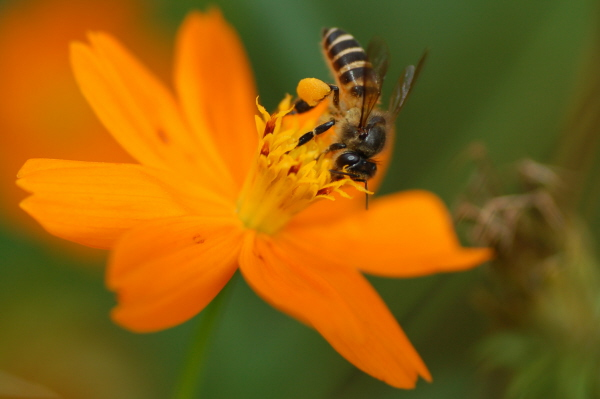Bee on flower redux